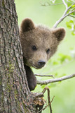 European Brown bear cub in tree (Ursus arctos), close-up