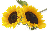 Two sunflowers (Helianthus annuus), close-up
