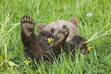 European Brown bear cub, (Ursus arctos), close-up