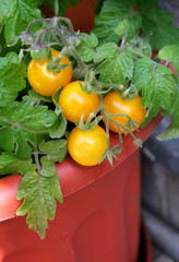 Ripe yellow cherry tomatoes in a flowerpot