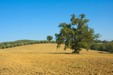 old olive tree in a field - typical tuscan lanscape poster