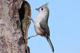 Tufted Titmouse (baeolophus bicolor) on a stump poster