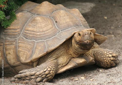 Papiers peints Tortue Tortoise