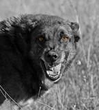 Fototapeta agresywne - niebezpieczny - Zwierzę domowe
