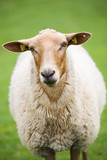 sheep close up - cute brown fluffy sheep against green poster