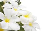 Plumeria alba flowers isolated on white background. poster
