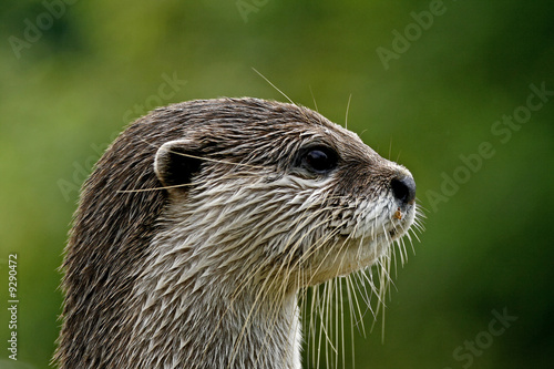Zwergotter, Fingerotter, Aonyx cinerea, Asian Otter