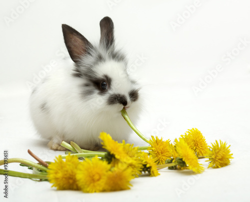 Leinwanddruck Bild Small spotted rabbit eats dandelions
