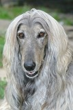 A beautiful Afghan hound dog head portrait poster