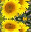 tournesol abeille