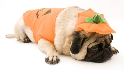 Sleeping Halloween Pumpkin Pug