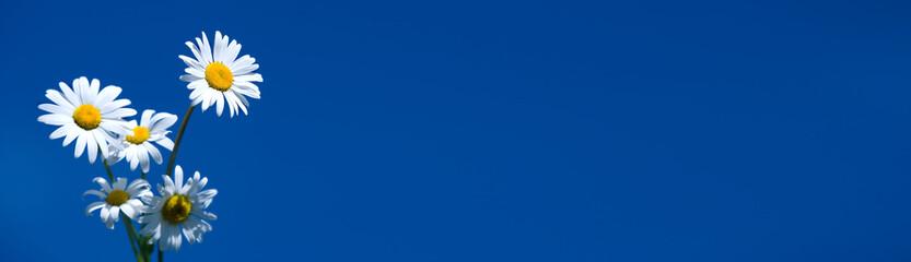 chamomile on blue banner