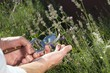 Lavendel schneiden - Harvesting Lavender