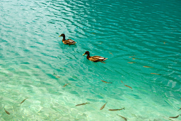 ducks and fishes in fresh water