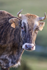 Cow portrait over a blurring background. Shallow depth of field