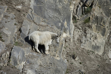Billy Mountain Goat looking down, Jasper National Park