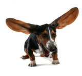 a baby basset hound yawning with big ears poster