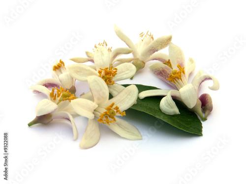 fleurs et feuille d'oranger