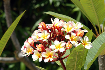 beautiful flowers, Belize, poloostrov Placencia