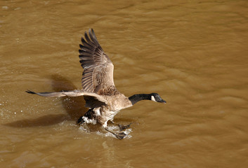 canadian goose landing on muddy water