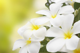 Plumeria alba flowers isolated on abstract blur background. poster