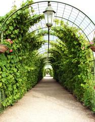 Fototapeta tunel z winorośli