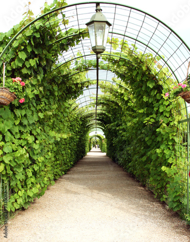 fototapeta na ścianę Vine arbor tunnel