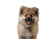 Tack Sharp Portrait of a Cute Pomeranian Puppy on White poster