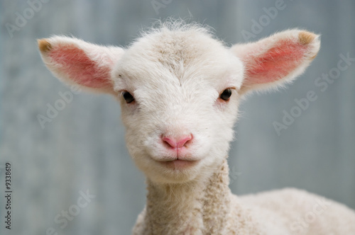 Canvas Schapen a very cute and adorable few day old lamb