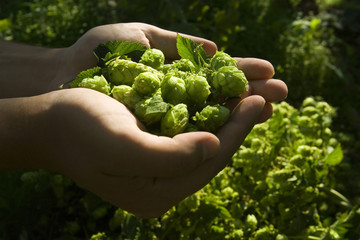 ..the flat hand with fresh hop cone