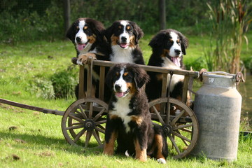 bouvier bernois quadruplés prêt pour une promenade en charrette