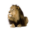 Lion (4 and a half years) in front of a white background