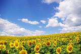 Fototapety sunflower field over  blue sky