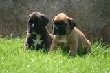 boxer chiots duo imperturbable