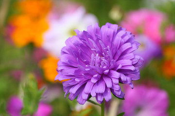 Close up of the purple aster. Background.