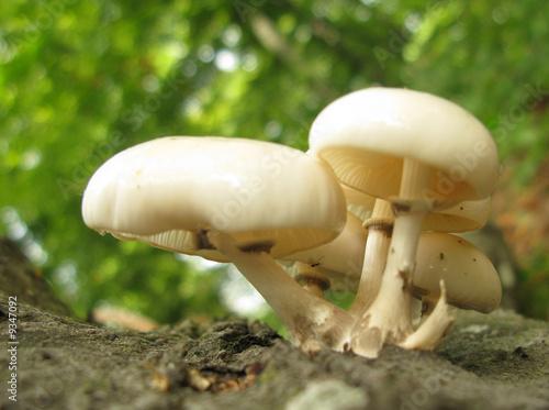 Agaricus xanthodermus poisonous mushrooms poster