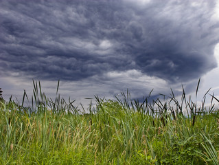 Cattails in a marshy wetland under a stormy sky