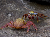 Sally Lightfoot Crabs auf Galapagos