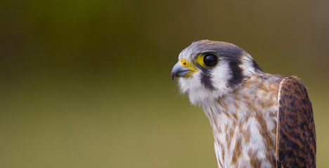 A portrait of a female American Kestrel