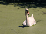 White swan swimming in a Florida swamp poster