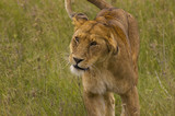 Lioness close-up - Safari in Tanzania poster