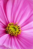Closeup of pink cosmos flower poster