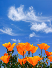 A field of poppies with clouds above.
