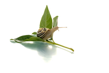 Snail looking behind a green leaf