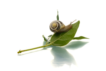 Snail crawling up green leaf