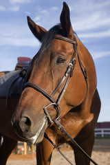 portrait of a bay horse with English style saddle