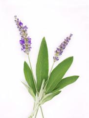 Lavendel und Salbei - Kräuter der Provence
