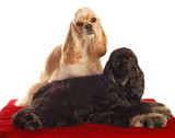 two american cocker spaniel dogs poster