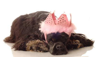 American cocker spaniel with pink feathered tiara