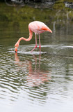Wading Flamingo poster